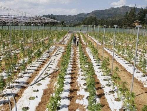 Cultivo de maconha em Portugal