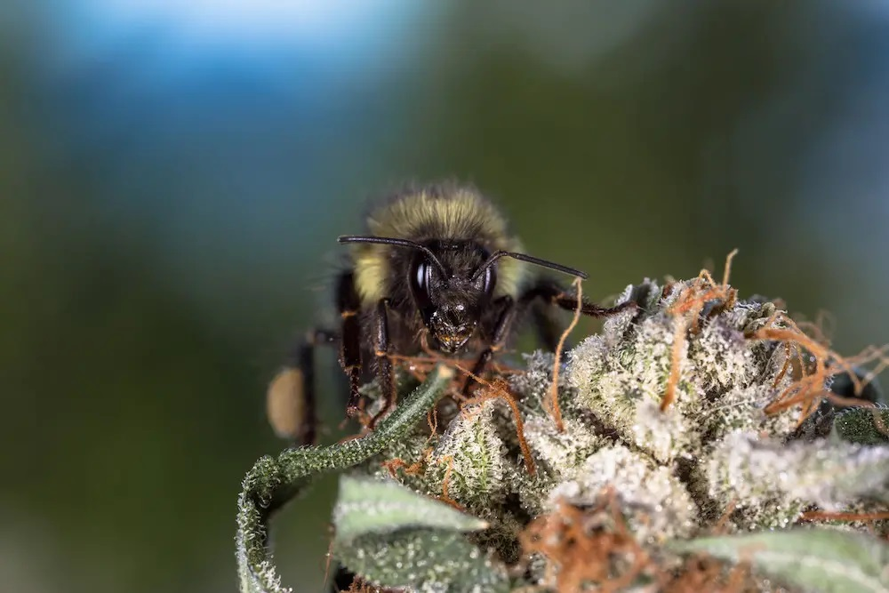 bee in weed