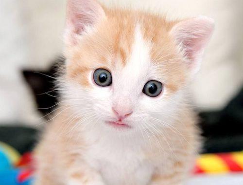 chineses realizam primeiro clone de gato no mundo