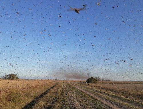 nuvem de gafanhotos argentina se aproxima do brasil portal mundo